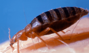Do bed bug bites itch